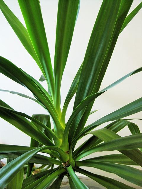 Yucca Palme - meine-sukkulenten.de